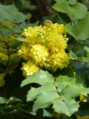 inflorescence de mahonia